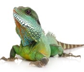 Lizards and Bearded Dragons for sale